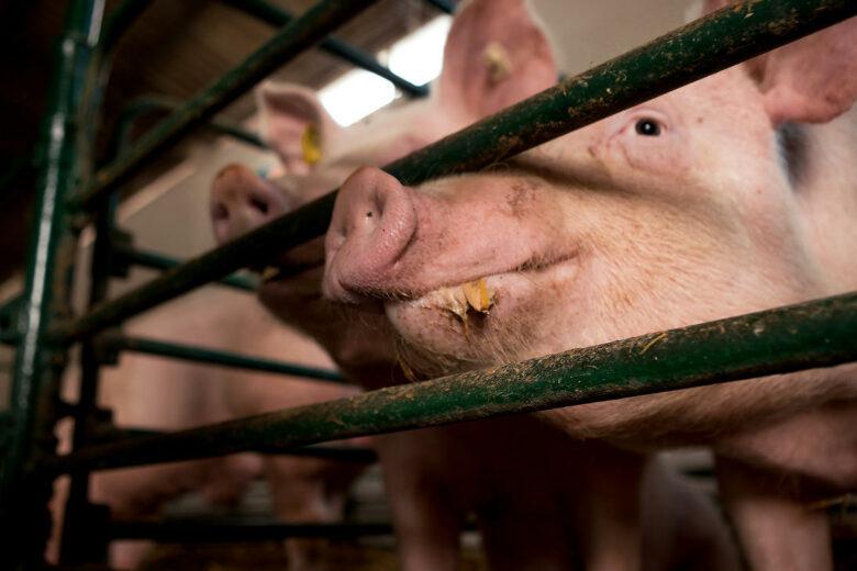 Schweine im Schweinestall hinter einem Gitter