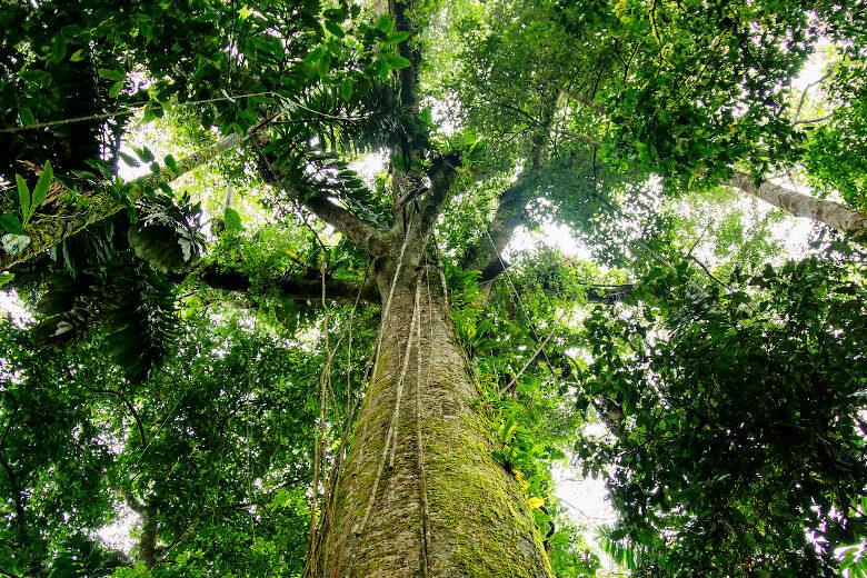 Blick in eine Baumkrone im Amazonas-Regenwald