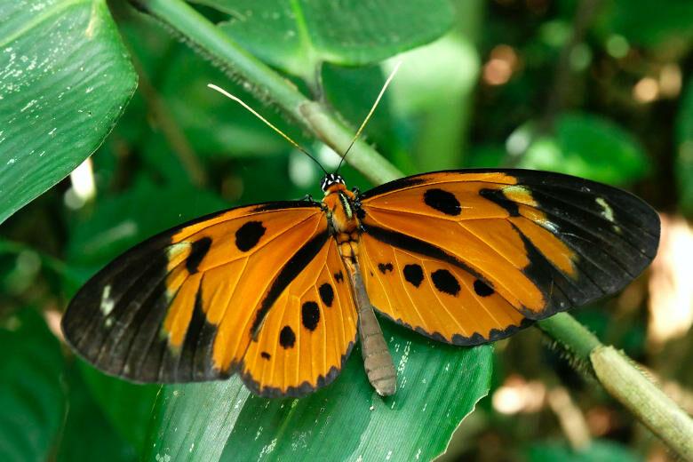 Oranger Schmetterling im Amazonas-Regenwald