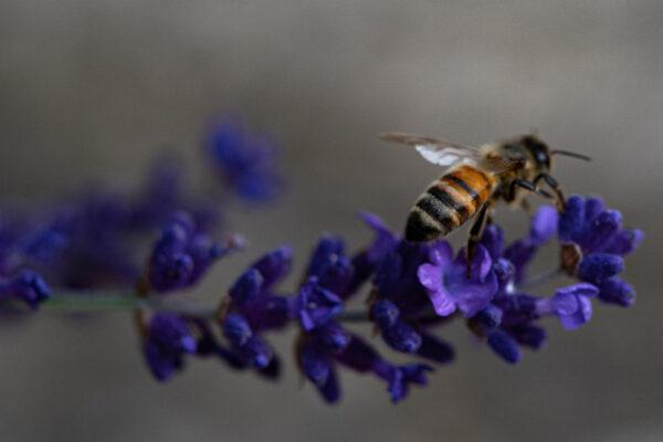Eine Biene sucht Nektar auf einer violetten Blüte.