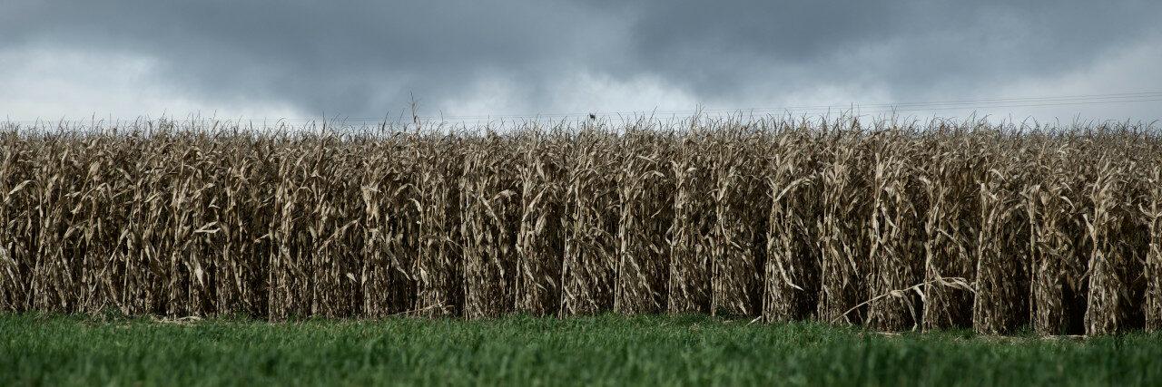 Ein vertrocknetes Maisfeld vor grauem Himmel - die Folgen von Monokulturen in der industriellen Landwirtschaft