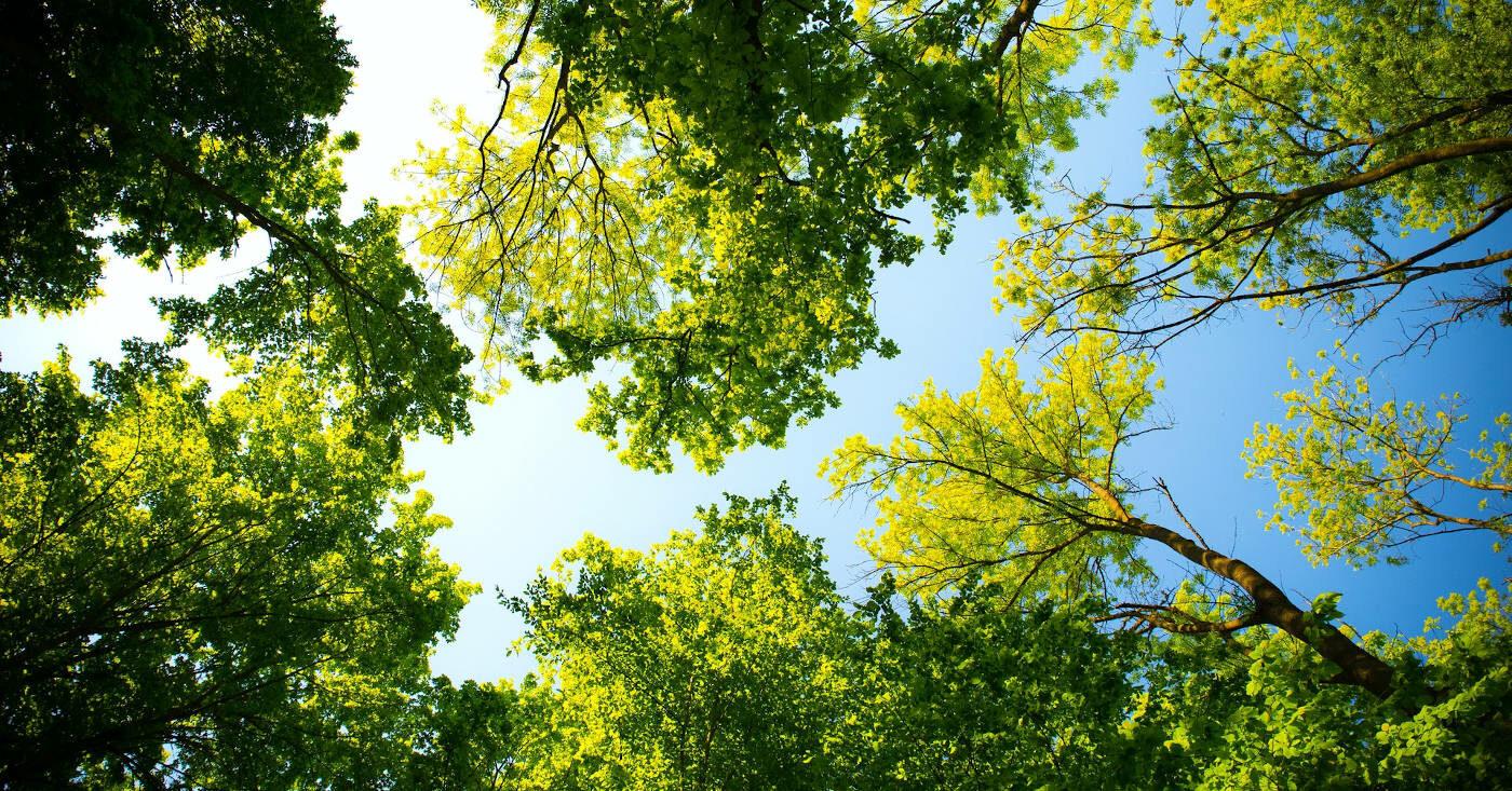 Grüne Laubbäume in einem Wald vor blauem Himmel.